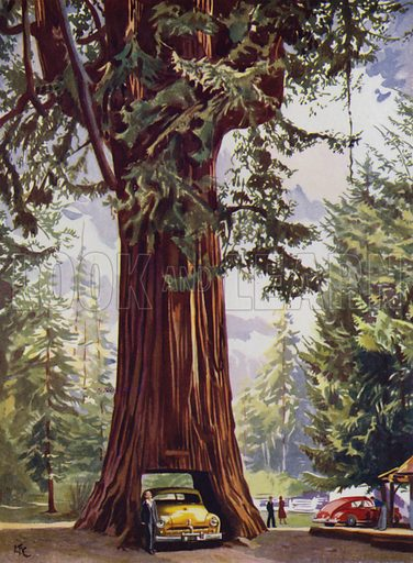 Giant Redwood tree, California, USA. Illustration from The Wonder Book of Would You Believe It? (Ward, Lock & Co, Limited, London and Melbourne, c1940).