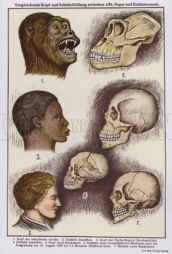 Comparison of heads and skulls of apes, black and white people. Illustration from Universum des Himmels, der Erde und des Menschen (F E Bilz, Dresden-Radebeul and Leipzig, c1925).