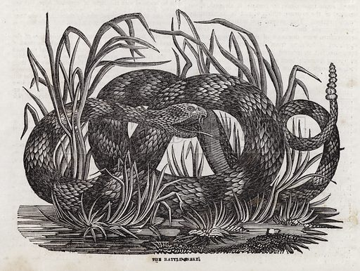 Rattle snake.  Illustration for The Saturday Magazine, 11 May 1833.