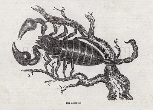 Scorpion.  Illustration for The Saturday Magazine, 25 May 1833.