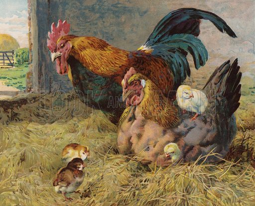 Cockerel, hen and chicks in a barn. Illustration from The Children's Farm, by L L Weedon (Nister & Co, Germany, c1900).