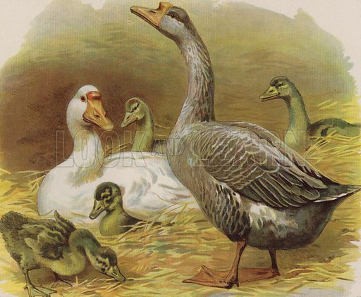 Ducks and ducklings. Illustration from The Children's Farm, by L L Weedon (Nister & Co, Germany, c1900).