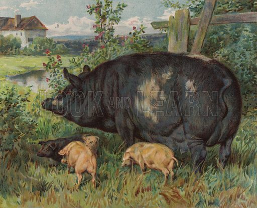Sow and piglets. Illustration from The Children's Farm, by LL Weedon (Nister & Co, Germany, c1900).