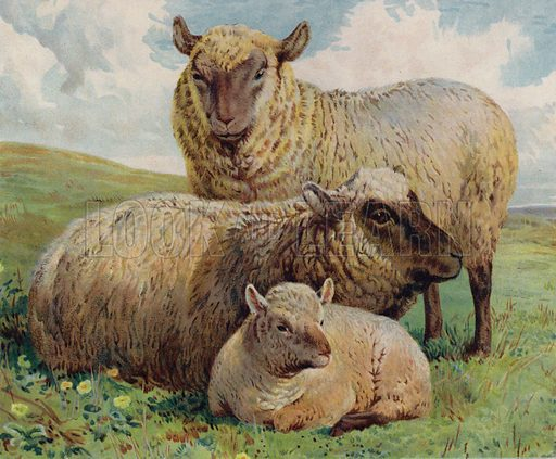 Sheep and lamb. Illustration from The Children's Farm, by L L Weedon (Nister & Co, Germany, c1900).