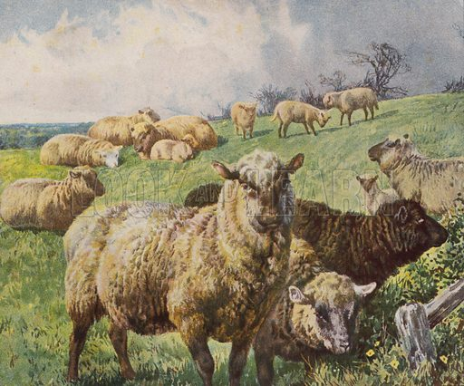 Flock of sheep in a field. Illustration from The Children's Farm, by LL Weedon (Nister & Co, Germany, c1900).