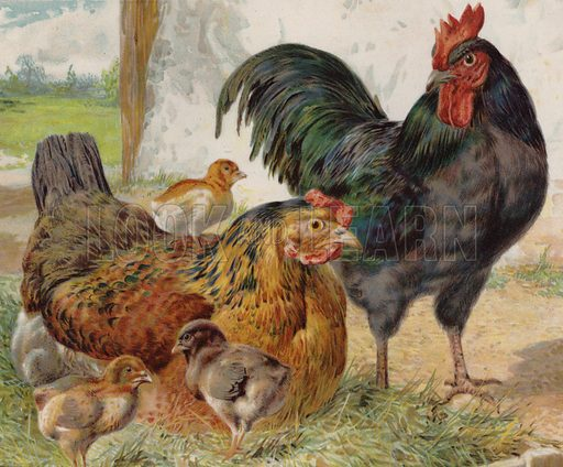 Cockerel, hen and chicks. Illustration from The Children's Farm, by LL Weedon (Nister & Co, Germany, c1900).