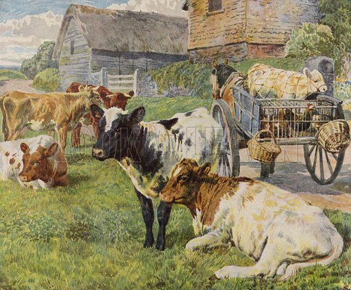 Herd of cows and a calf in a horse-drawn cart. Illustration from The Children's Farm, by L L Weedon (Nister & Co, Germany, c1900).