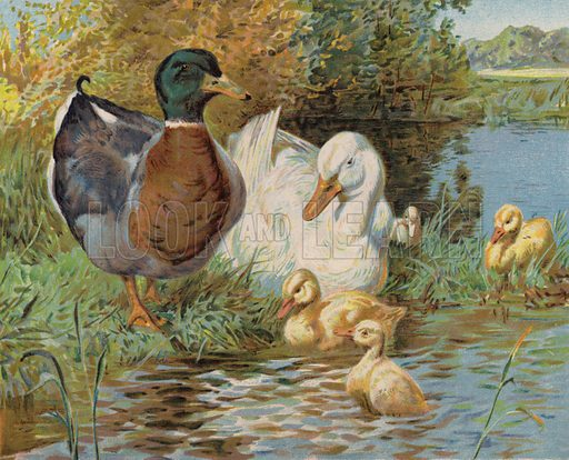 Mallard ducks and ducklings in a pond. Illustration from The Children's Farm, by L L Weedon (Nister & Co, Germany, c1900).