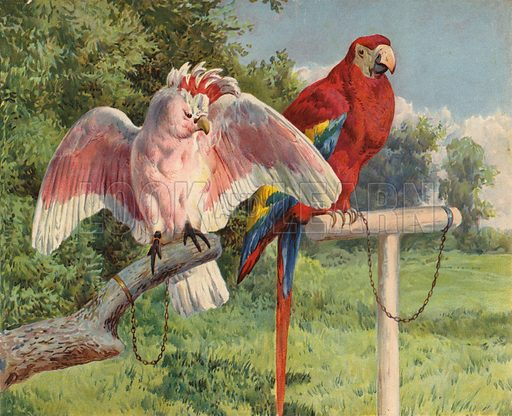 Cockatoo and Macaw. Illustration from Our Book of Feathered Friends (Ernest Nister, London, and P Dutton & Co, New York, c1898).
