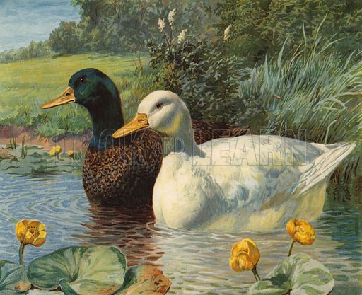 Ducks. Illustration from Our Book of Feathered Friends (Ernest Nister, London, and P Dutton & Co, New York, c1898).