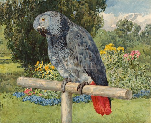 Grey Parrot. Illustration from Our Book of Feathered Friends (Ernest Nister, London, and P Dutton & Co, New York, c1898).