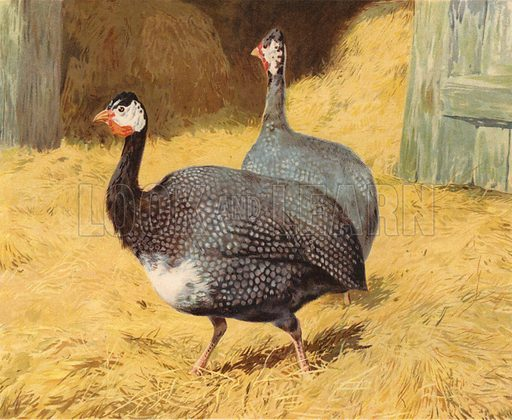 Guineafowl. Illustration from Our Book of Feathered Friends (Ernest Nister, London, and P Dutton & Co, New York, c1898).