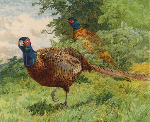 Pheasants. Illustration from Our Book of Feathered Friends (Ernest Nister, London, and P Dutton & Co, New York, c1898).