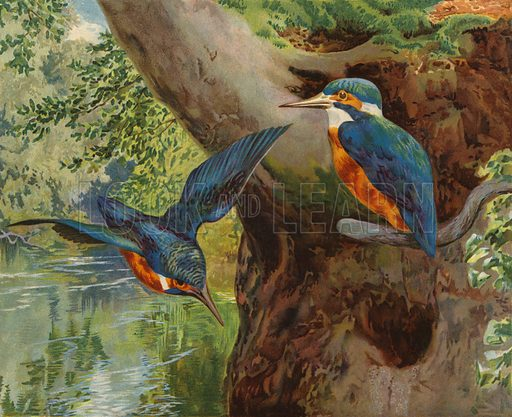 Kingfishers. Illustration from Our Book of Feathered Friends (Ernest Nister, London, and P Dutton & Co, New York, c1898).