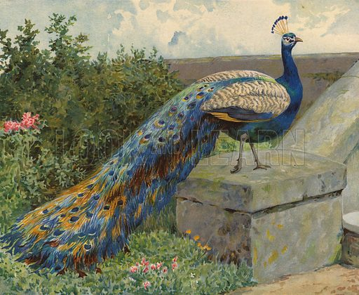 Peacock. Illustration from Our Book of Feathered Friends (Ernest Nister, London, and P Dutton & Co, New York, c1898).