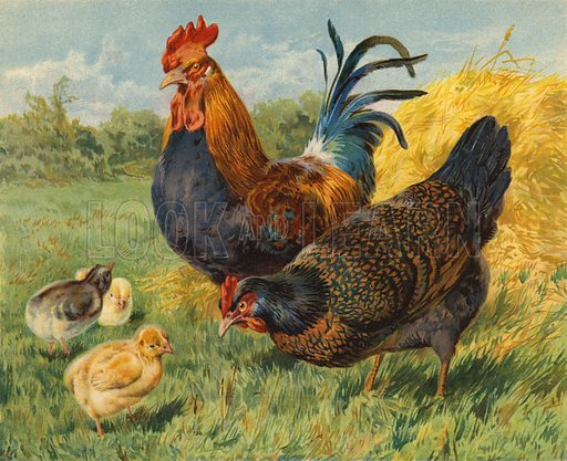 Chickens. Illustration from Our Book of Feathered Friends (Ernest Nister, London, and P Dutton & Co, New York, c1898).