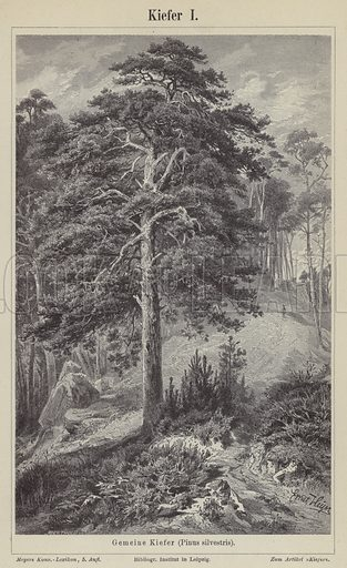 Scots pine tree. Illustration from Meyer's Konversations-Lexicon, c1895.