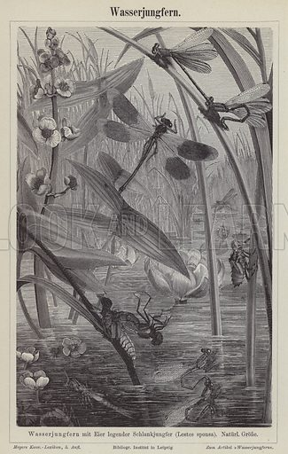 Dragonflies. Illustration from Meyer's Konversations-Lexicon, c1895.