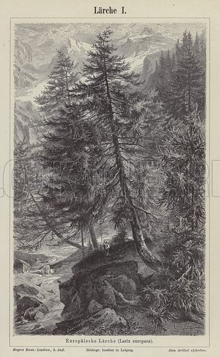 European larch tree. Illustration from Meyer's Konversations-Lexicon, c1895.