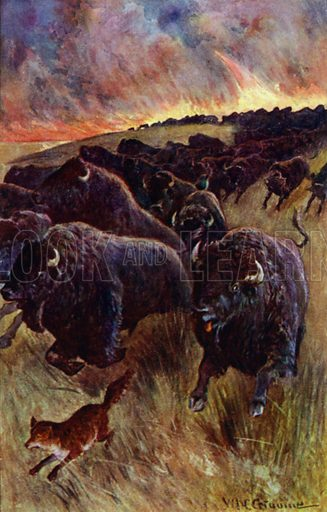 """""""I caught sight of a herd of buffalo dashing on to escape the flames."""" Illustration for Afar In The Forest by W H G Kingston (Thomas Nelson, c 1910)."""