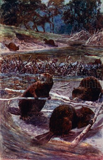 """""""They build a dam across the stream."""" Illustration for Afar In The Forest by W H G Kingston (Thomas Nelson, c 1910)."""