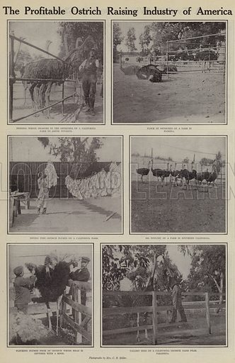 The profitable ostrich raising industry of America. Illustration for Around the World with a Camera (Leslie-Judge Company, 1910).