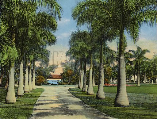 Royal Palm Driveway at Miami, Florida. Illustration for Beautiful Florida, The Winter Playground of the Nation (Curt Teich, c 1920).