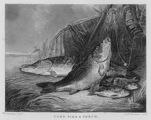 Carp, Pike and Perch. Illustration for unidentified book of sports, c 1840.