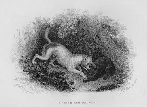 Terrier and Badger. Illustration for unidentified book of sports, c 1840.