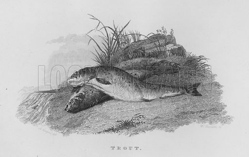Trout. Illustration for unidentified book of sports, c 1840.