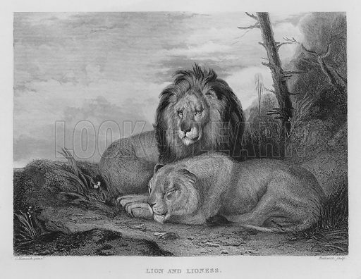 Lion and Lioness. Illustration for unidentified book of sports, c 1840.