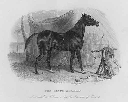 The Black Arabian, presented to William IV by the Imaum of Muscat. Illustration for unidentified book of sports, c 1840.