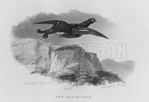 The Black-Cock. Illustration for unidentified book of sports, c 1840.