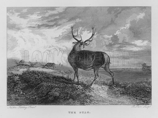 The Stag. Illustration for unidentified book of sports, c 1840.