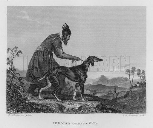Persian Greyhound. Illustration for unidentified book of sports, c 1840.
