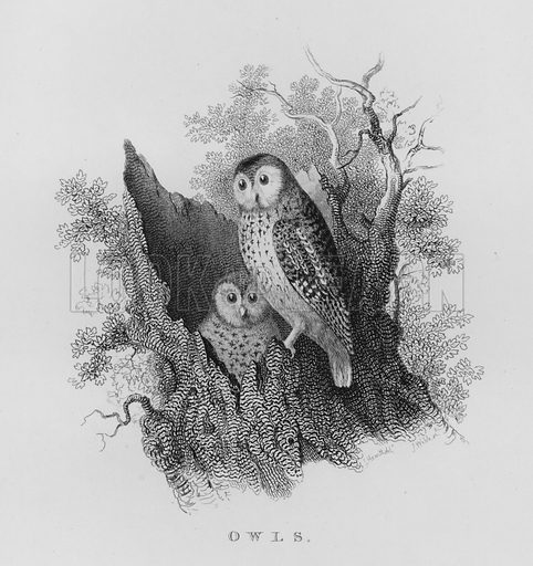 Owls. Illustration for unidentified book of sports, c 1840.