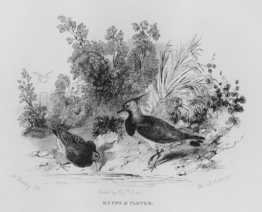 Ruffs and Plover. Illustration for unidentified book of sports, c 1840.