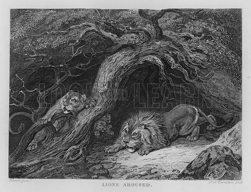 Lions Aroused. Illustration for unidentified book of sports, c 1840.