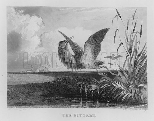 The Bittern. Illustration for unidentified book of sports, c 1840.