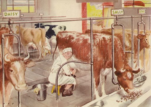 Milking the cows. Illustration for On the Farm by E R Boyce (Macmillan, c 1950).