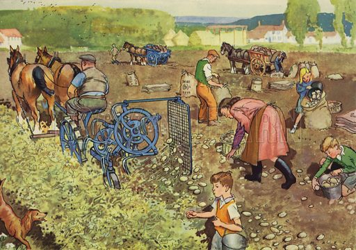 Getting up the Potatoes. Illustration for On the Farm by E R Boyce (Macmillan, c 1950).