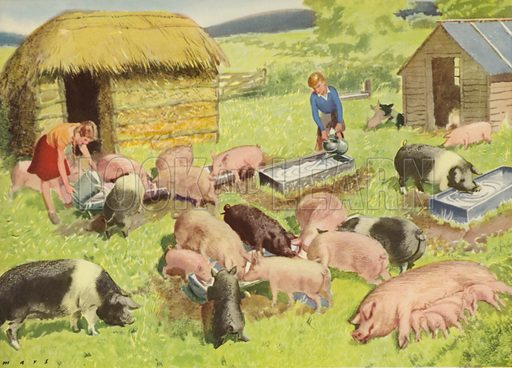 Feeding the pigs. Illustration for On the Farm by E R Boyce (Macmillan, c 1950).