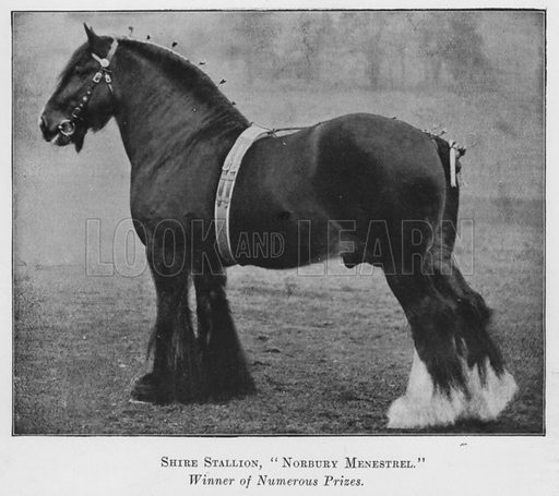 Shire Stallion, Norbury Menestrel, Winner of Numerous Prizes. Illustration for British Breeds of Live Stock (2nd edn, Board of Agriculture and Fisheries, London, 1913).
