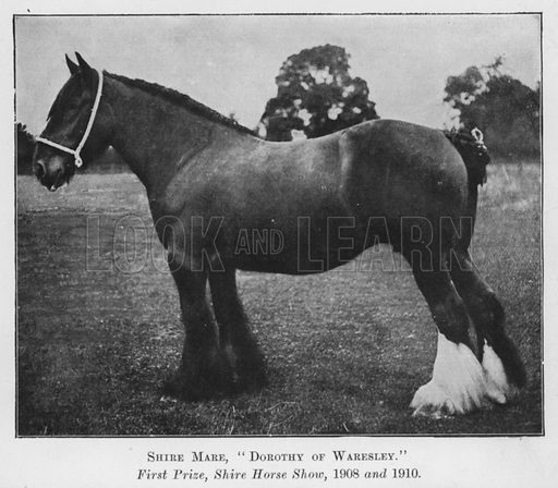 Shire Mare, Dorothy of Waresley, First Prize, Shire Horse Show, 1908 and 1910. Illustration for British Breeds of Live Stock (2nd edn, Board of Agriculture and Fisheries, London, 1913).