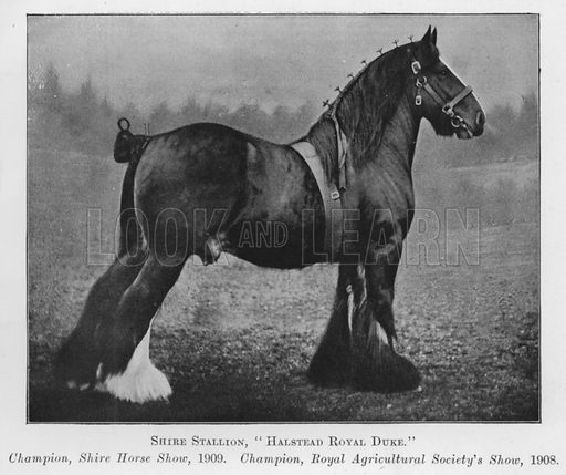 Shire Stallion, Halstead Royal Duke, Champion, Shire Horse Show, 1909, Champion, Royal Agricultural Society's Show, 1908. Illustration for British Breeds of Live Stock (2nd edn, Board of Agriculture and Fisheries, London, 1913).