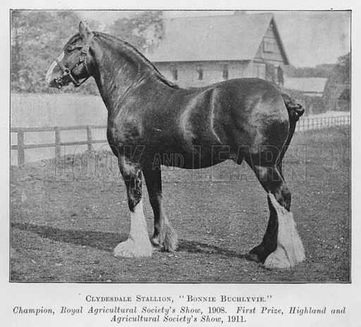 Clydesdale Stallion, Bonnie Buchlyvie, Champion, Royal Agricultural Society's Show, 1908, First Prize, Highland and Agricultural Society's Show, 1911. Illustration for British Breeds of Live Stock (2nd edn, Board of Agriculture and Fisheries, London, 1913).