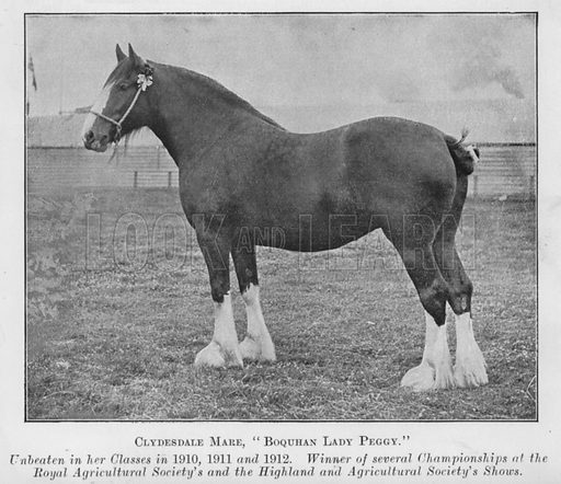 Clydesdale Mare, Boquhan Lady Peggy, Unbeaten in her Classes in 1910, 1911 and 1912, Winner of several Championships at the Royal Agricultural Society's and the Highland and Agricultural Society's Shows. Illustration for British Breeds of Live Stock (2nd edn, Board of Agriculture and Fisheries, London, 1913).