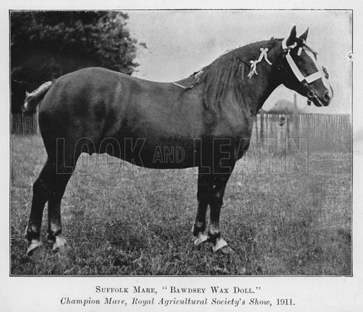 Suffolk Mare, Bawdsey Wax Doll, Champion Mare, Royal Agricultural Society's Show, 1911. Illustration for British Breeds of Live Stock (2nd edn, Board of Agriculture and Fisheries, London, 1913).