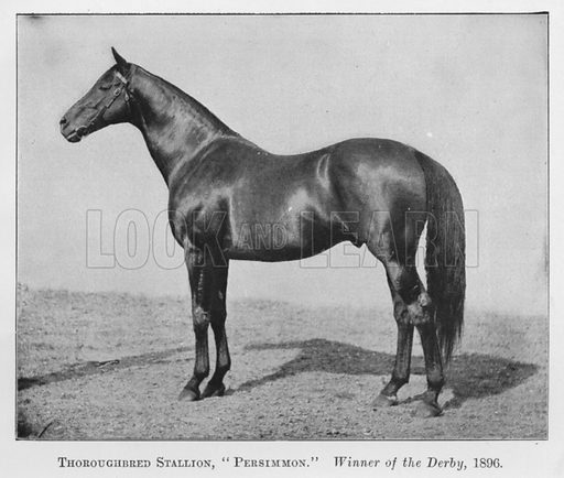 Thoroughbred Stallion, Persimmon, Winner of the Derby, 1896. Illustration for British Breeds of Live Stock (2nd edn, Board of Agriculture and Fisheries, London, 1913).