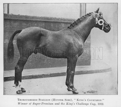 Thoroughbred Stallion, Hunter Sire, King's Courtship, Winner of Super-Premium and the King's Challenge Cup, 1912. Illustration for British Breeds of Live Stock (2nd edn, Board of Agriculture and Fisheries, London, 1913).